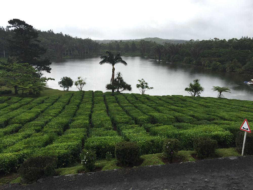 plantation de thé de l'île Maurice